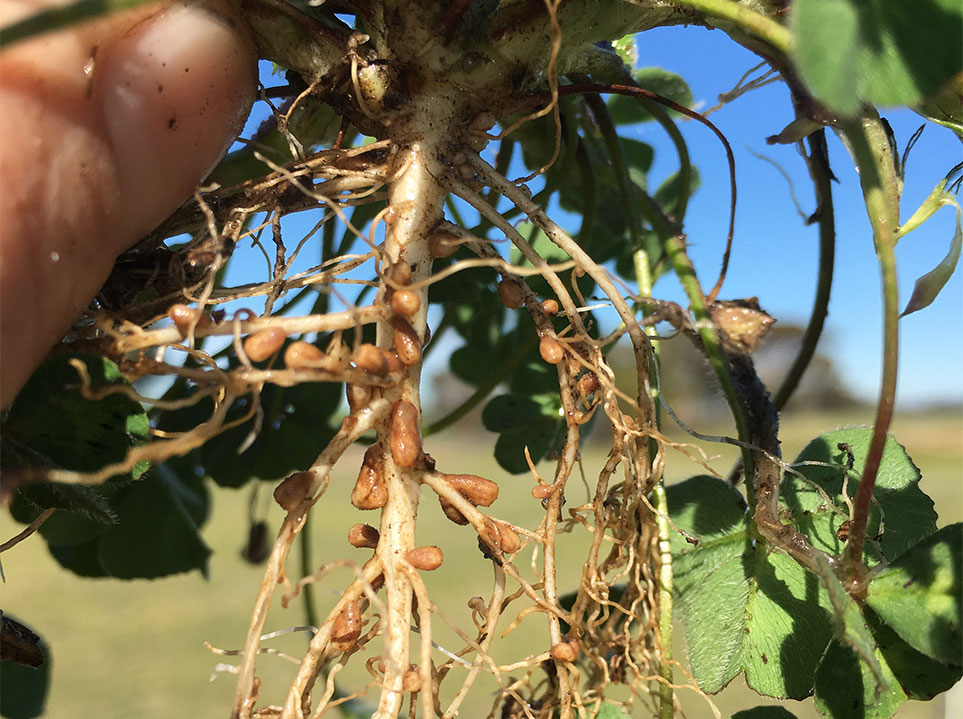 Nodulation without re-inoculation Brookton