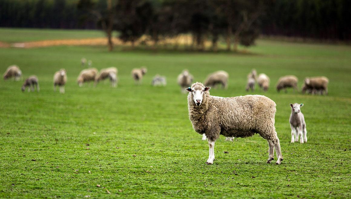 Sheepstandingonpasture