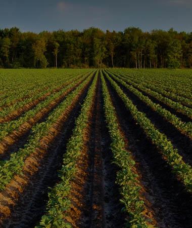 Horticulture crops in field